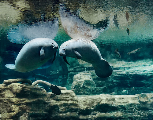 Image of Manatees at SeaWorld-Orando