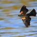 Red Wing Blackbird Flight