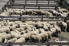 Lambs at salebarn