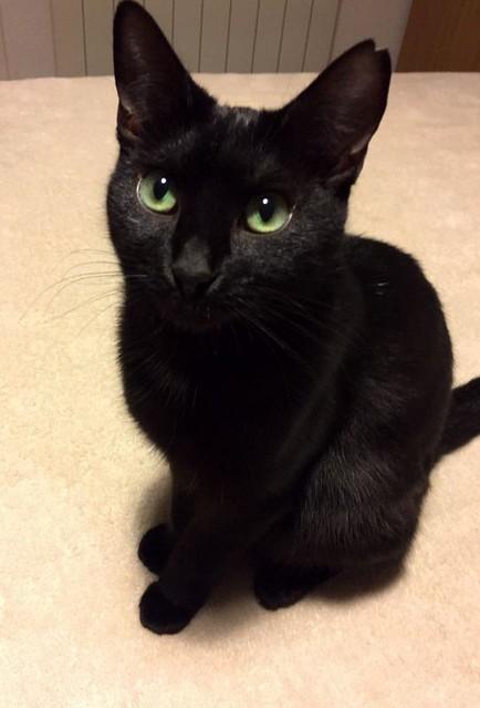 Morgana, gatita negra monísima, juguetona y tímida esterilizada, nacida en Julio´16, en adopción. Valencia. ADOPTADA. 32486900724_1b5bae5e07_z