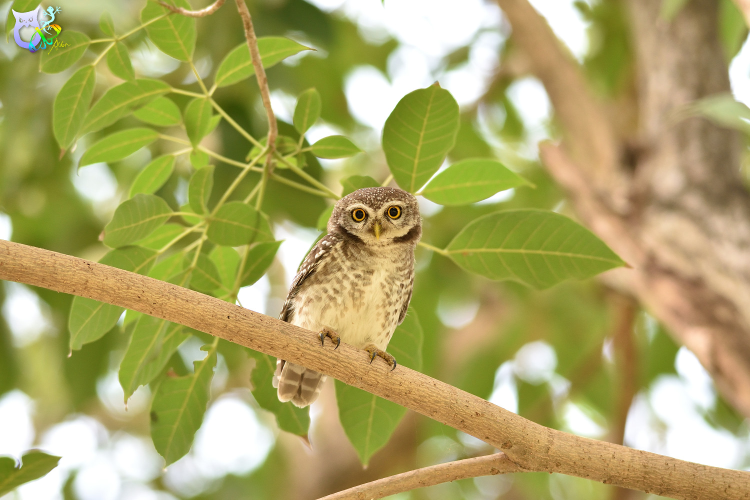 Spotted_Owlet_3165