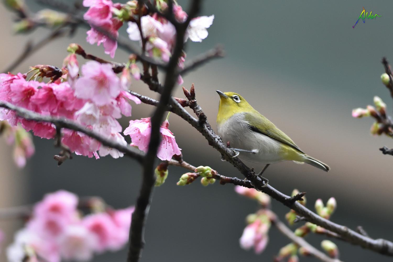 Sakura_White-eye_7729