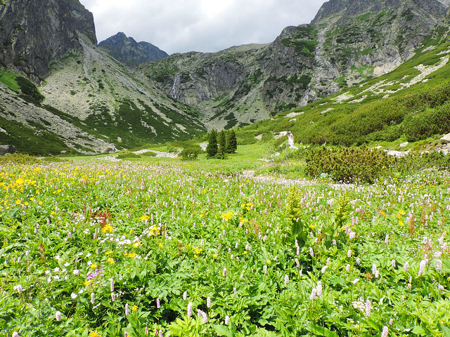 Wildflower Bloom: Small Cold Valley, High Tatras, Slovakia