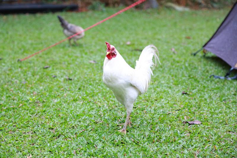 在營區內巡視的公雞