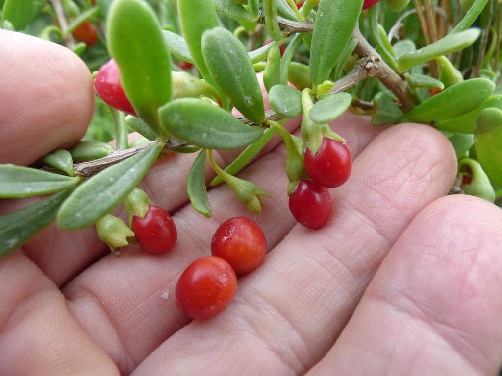 Hawaiian Goji Berries (Lycium sandwicense) - Edible..