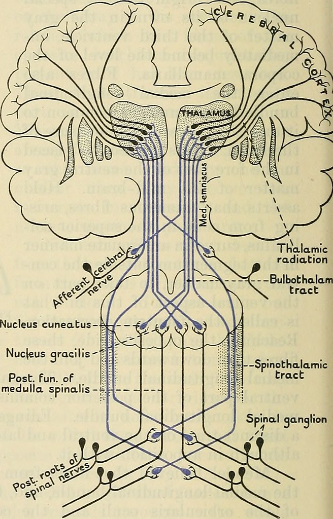 Image From Page 623 Of Cunninghams Text Book Of Anatomy Flickr