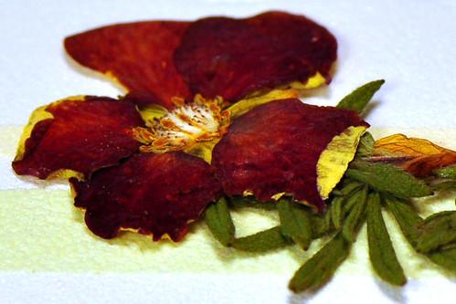 Makrofotografie Pflanzen Blumen Blüten Wildpflanzen Gartenblumen pressen trocknen gepresst Foto Brigitte Stolle November 2015