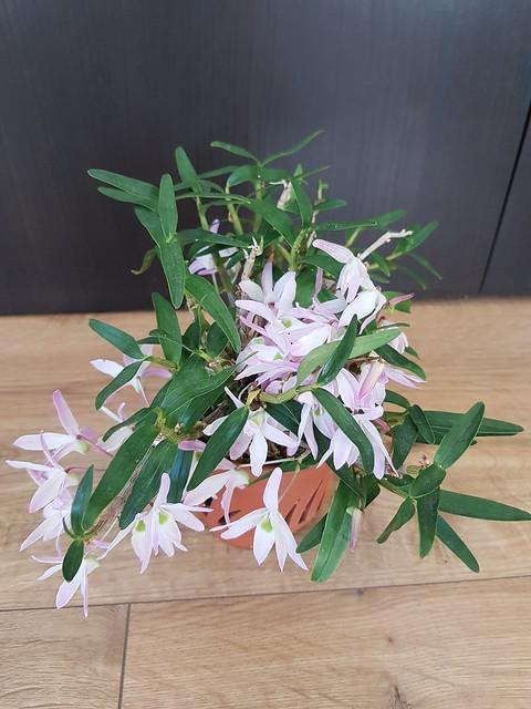 Dendrobium moniliforme 32841924300_ced6536a3c_z