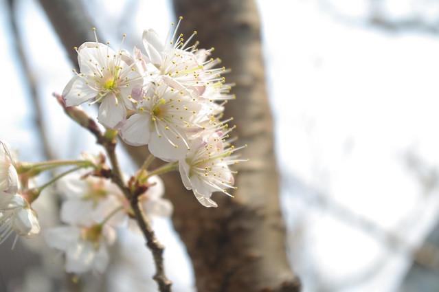 437 - wisteria2-kozo