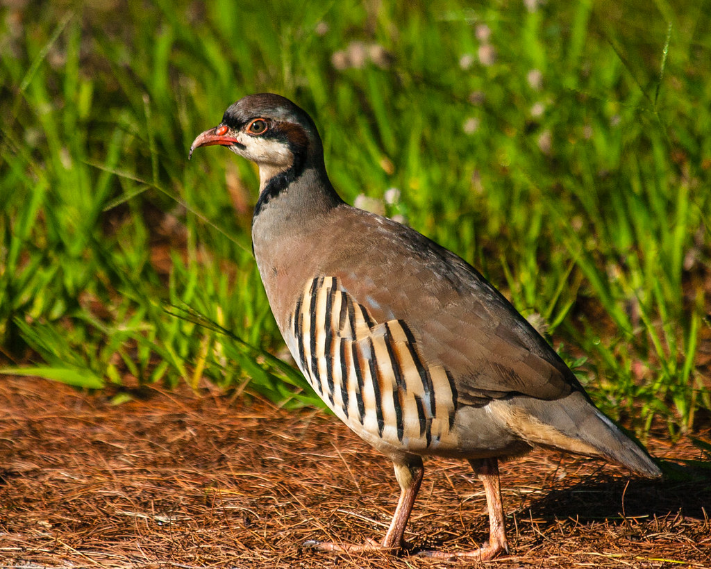 The Good Ride >> Chukar Partridge | Yesterday I was out for a bike ride and r… | Flickr
