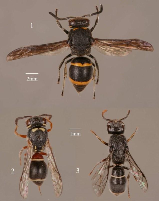 由葉文琪與陸聲山於2007年發表的三種台灣新記錄蜾蠃1. Epsilon fujianensis;2. Paraleptomenes miniatus miniatus;3. Subancistrocerus sichelii。攝影:葉文琪。