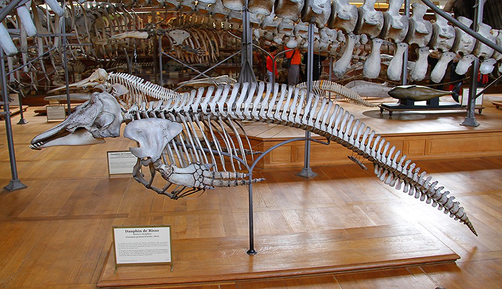 Risso\'s Dolphin Skeleton | Many Whale and Dolphin Skeletons … | Flickr