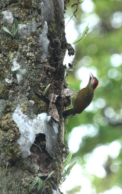 A male golden olive woodpecker seen below the reception area, towards the tree fern hill.