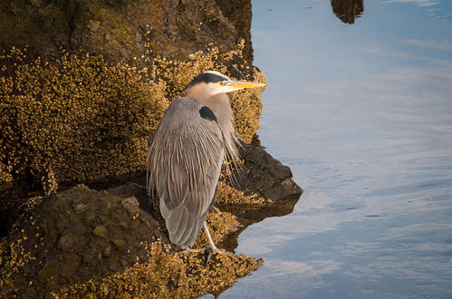 Blue Heron in Florence OR