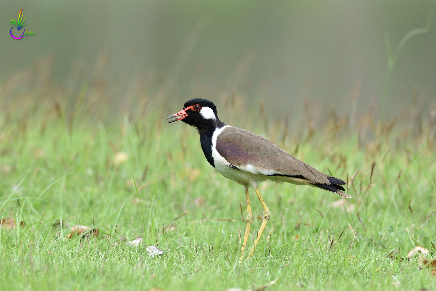 Red-wattled_Lapwing_3361