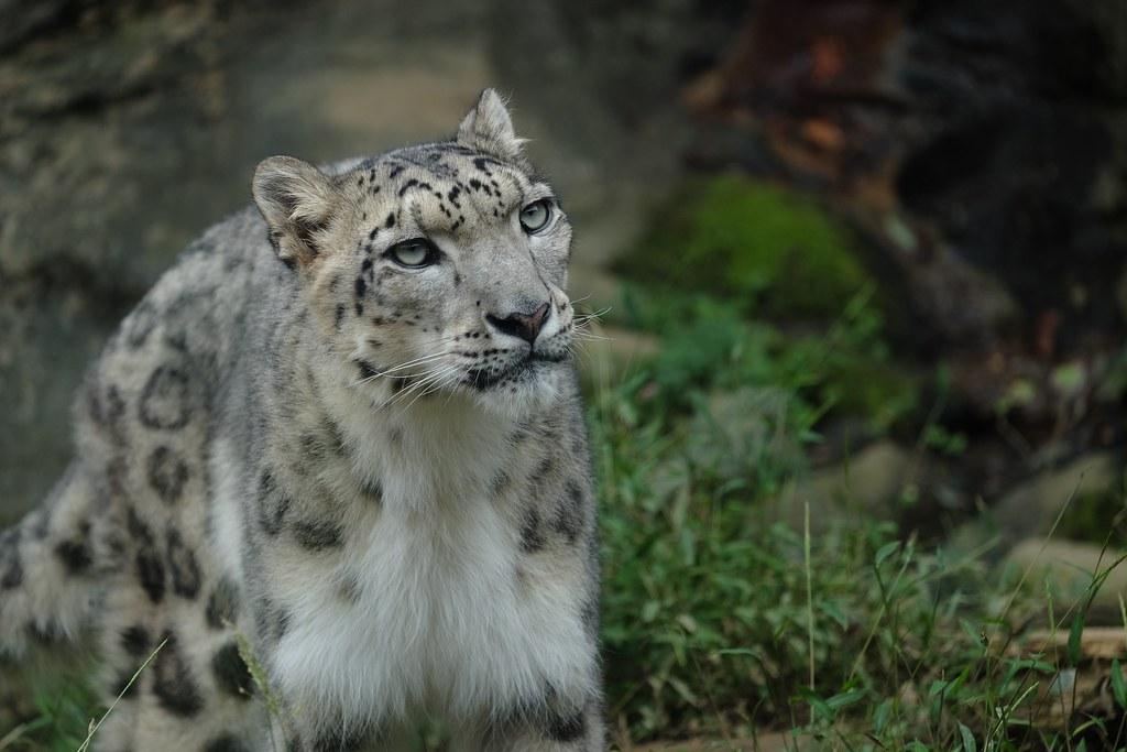 雪豹。圖片攝自日本多摩動物公園。圖片來源:hoto.jhassy(CC BY-NC-ND 2.0)。