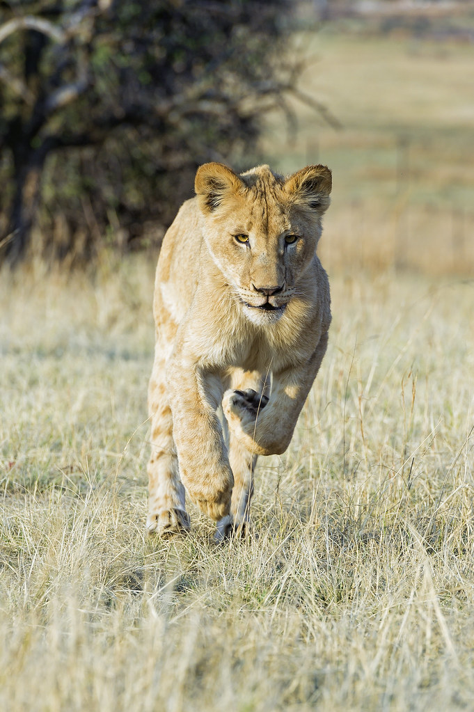 Young lioness running in the grass | We could have a ...