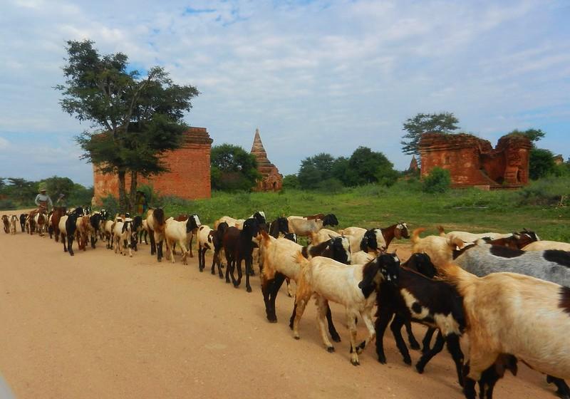 Стадо коз в Багане