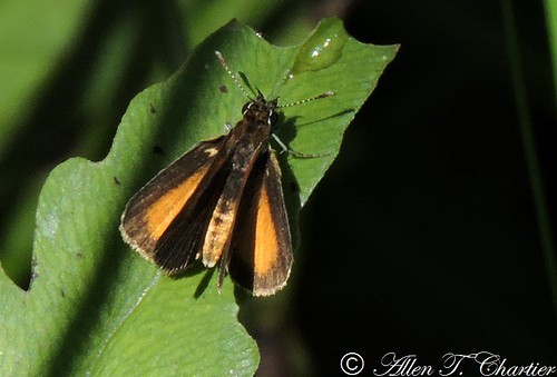 Ancyloxypha numitor (Least Skipper)