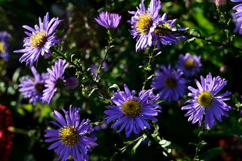 ASTER 'Moody Blue'