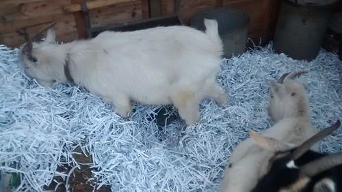 goats get extra bedding Jan 17 (2)
