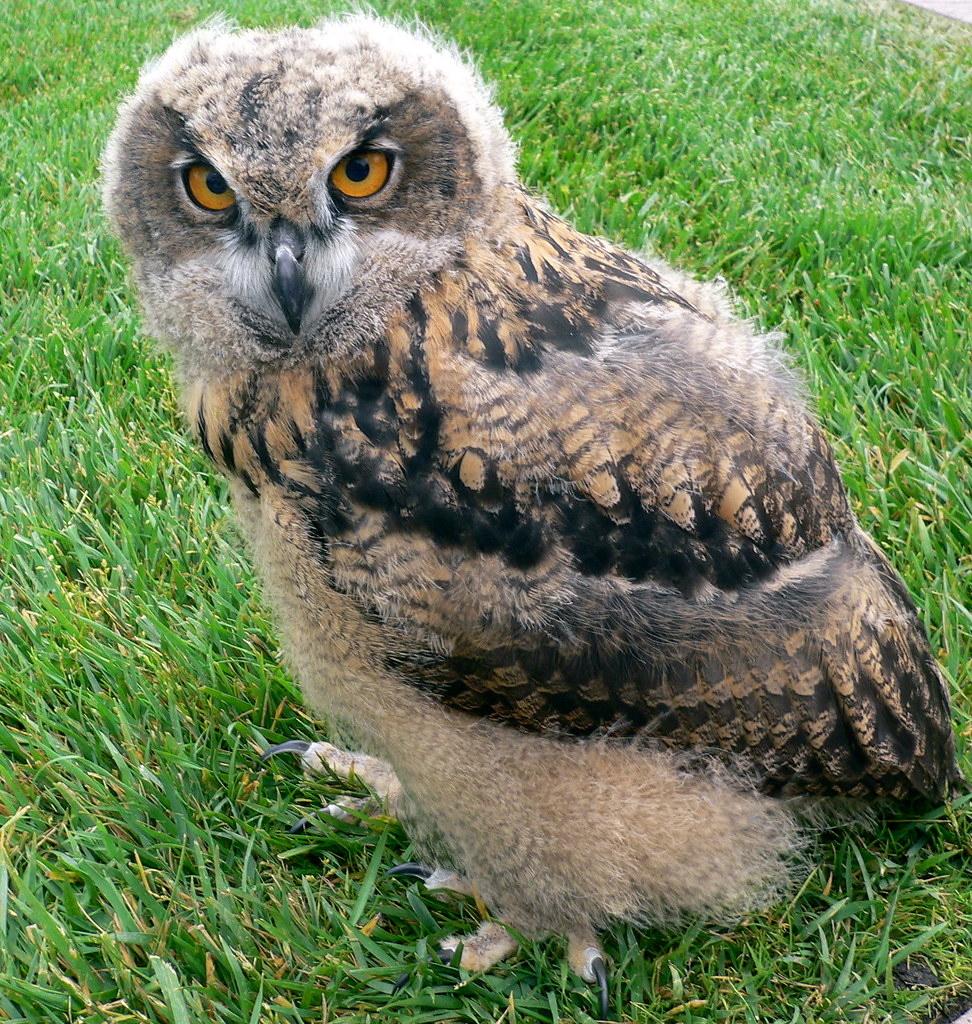 Baby European Eagle Owl 7 Weeks Old Waddling Around On