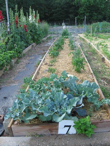 community garden row 5-28-06 | by slowlysheturned