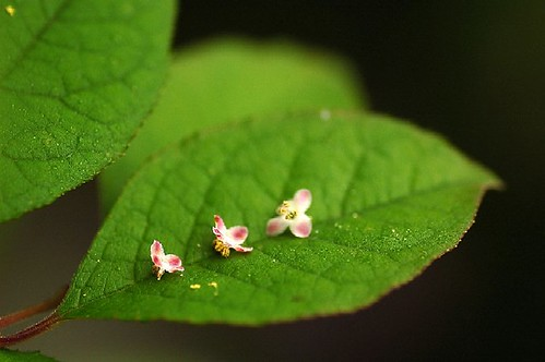 small and tiny 3 petals | by *suika *