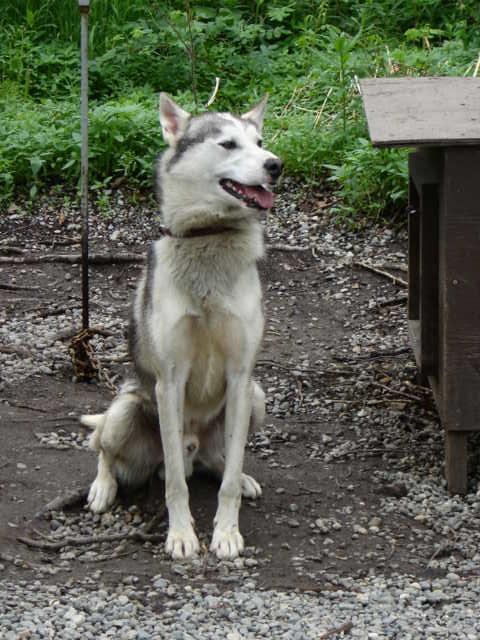 Image Result For Male Siberian Husky