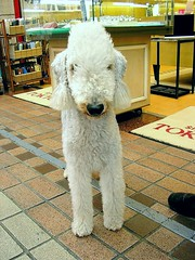 Mr. Slim(Bedlington Terrier) | by tanakawho