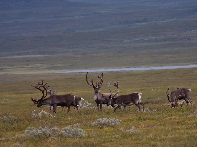 Herd of reindeer | Herd of reindeer on a remote tundra ...