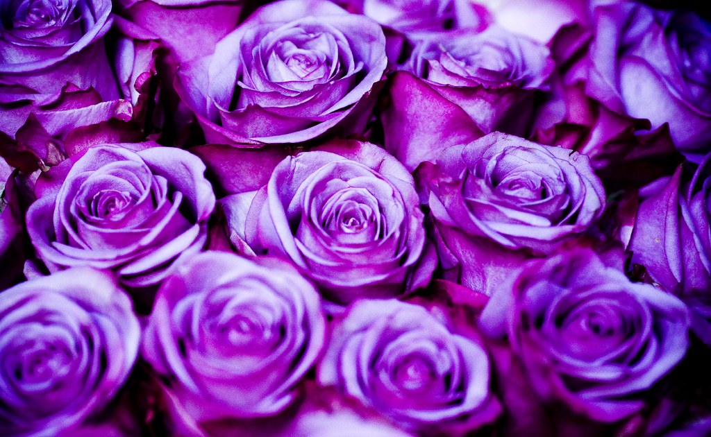 Purple Roses Background Images: Holds A Lot Of Rain
