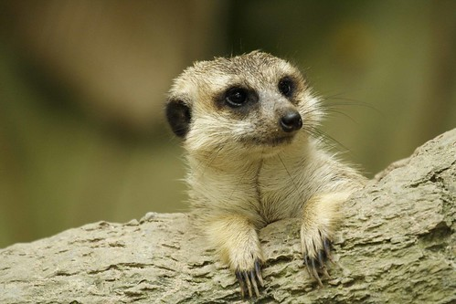 Portrait of a Meerkat | by ShutterbugL