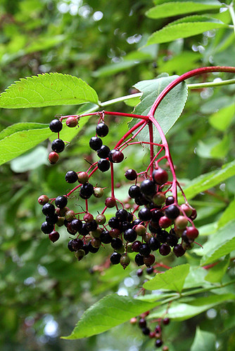 Elderberries | by David Lebovitz