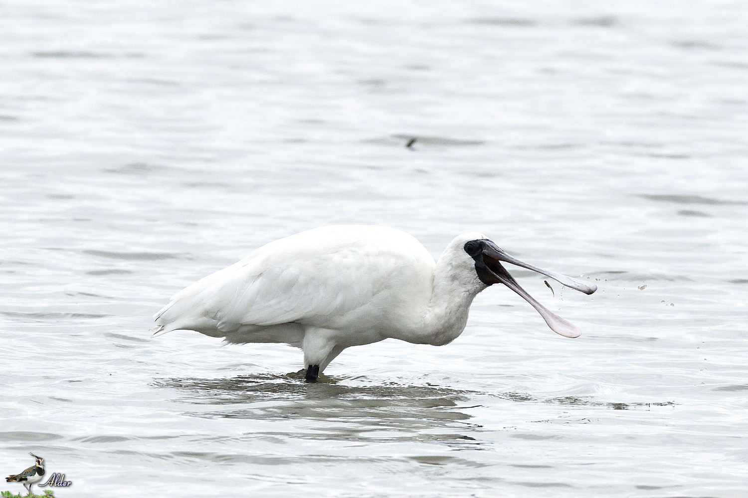 Black-faced_Spoonbill_5267