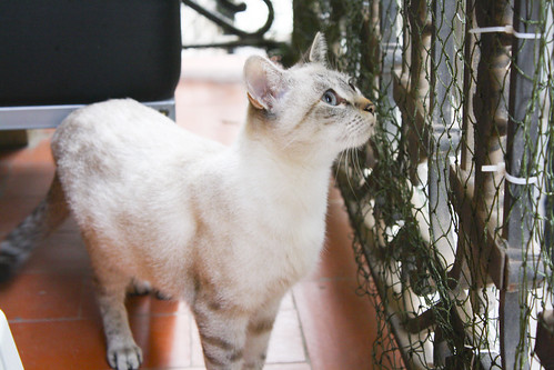 FALLECIDA- Violeta, gata siamesa tabby dulcísima esterilizada, nacida en Agosto´13, en adopción. Valencia. 21647441654_20c98541c0