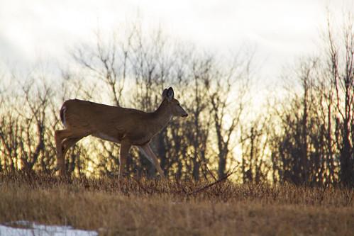 Deer in Shenandoah