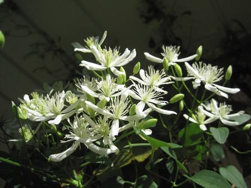 clematis_ternifolia2
