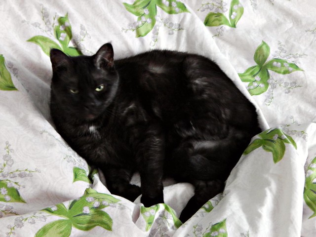 Чёрный кот Муся с грозным выражением летса | Musia the black cat angry | HoroshoGromko.ru