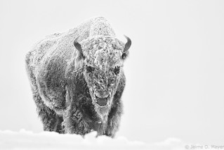 Frosty Bison | by Jaime O. Mayer
