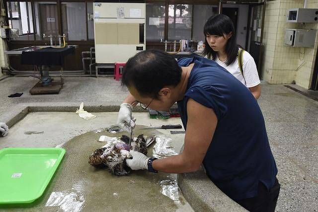 屏科大助理教授陳貞志取消中秋連假,北上台北協助解剖,釐清黑鳶死因。攝影:謝季恩。