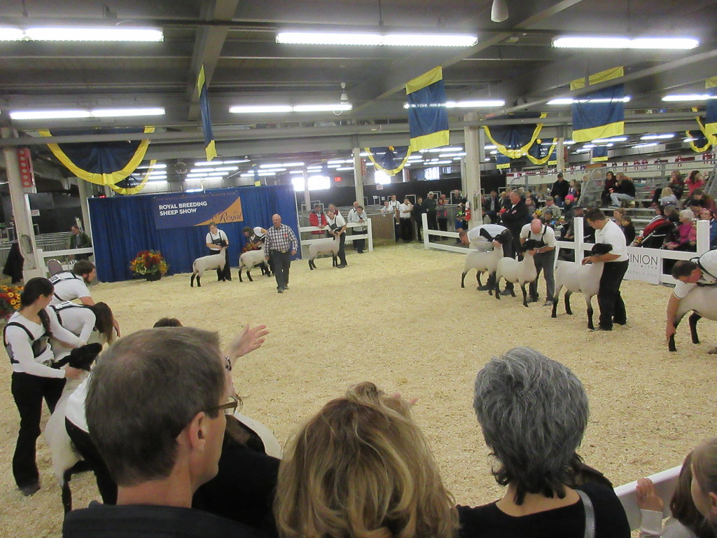 sheep breeding show competition at Royal Winter Fair
