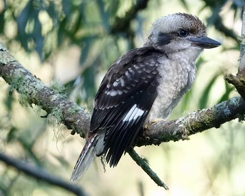 Juvenile Kookaburra