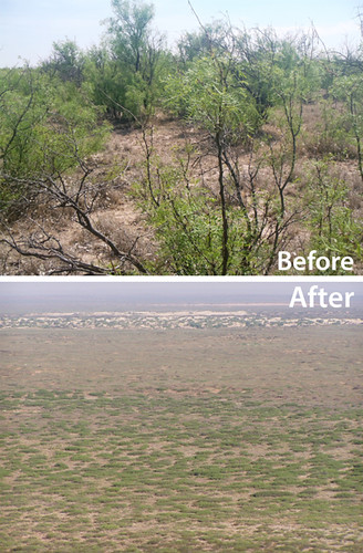 Before and after photo of mesquite