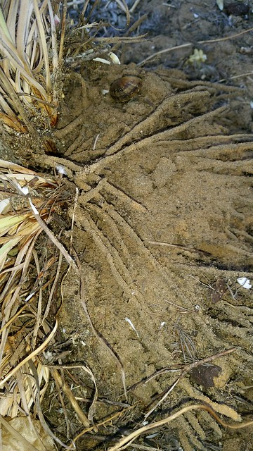 sticky roots of Conostylis