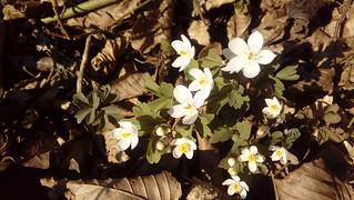 Spring Series: Wood Anemone