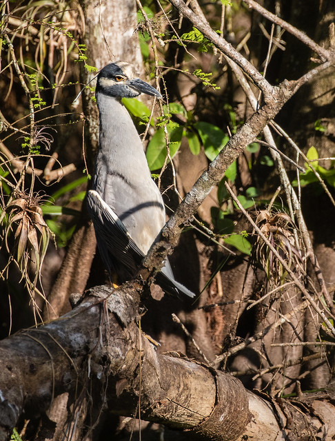 yellow-crowned night-heron 091_1944