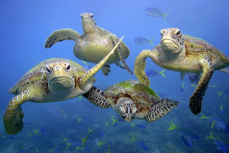 在大堡礁水域悠遊的綠蠵龜。攝影:Troy Mayne。圖片來源:WWF