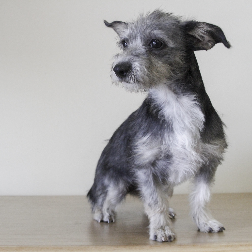 Fine Wire Hair Terrier Mix Breed Images - Everything You Need to ...