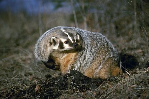 American badger taxidea taxus file photo california for California department of fish and wildlife jobs
